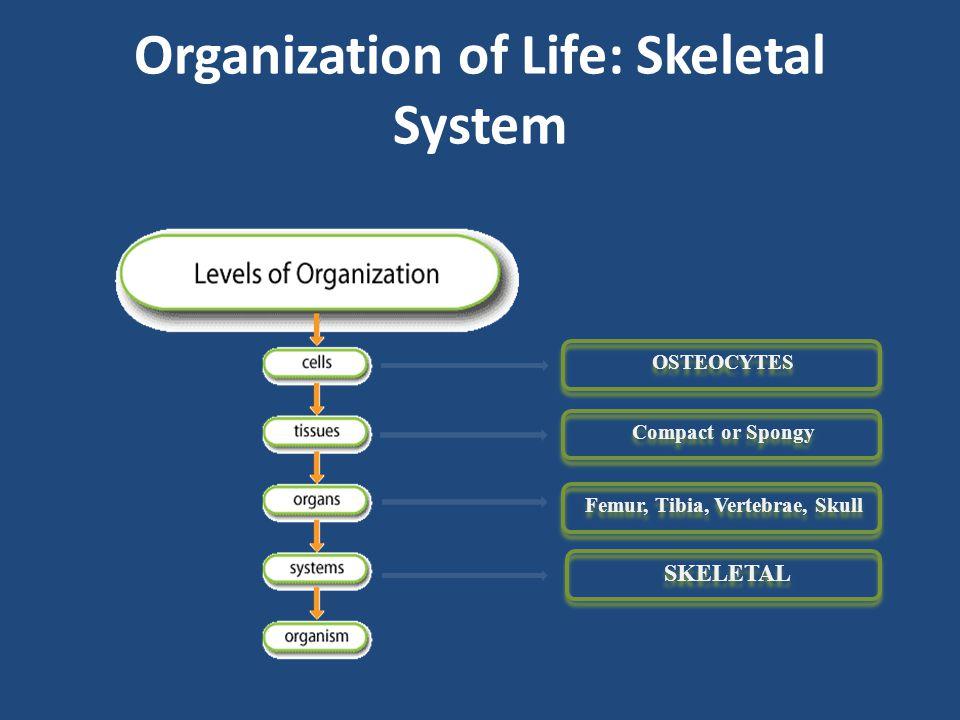 Organization of Life: Skeletal System