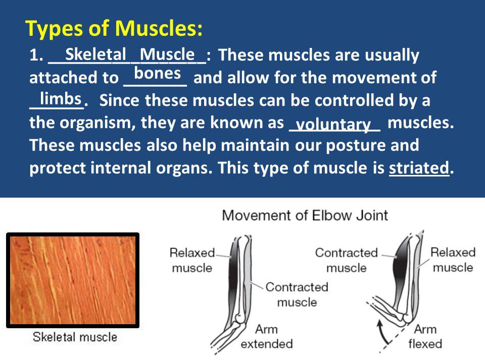 Types of Muscles: Skeletal Muscle