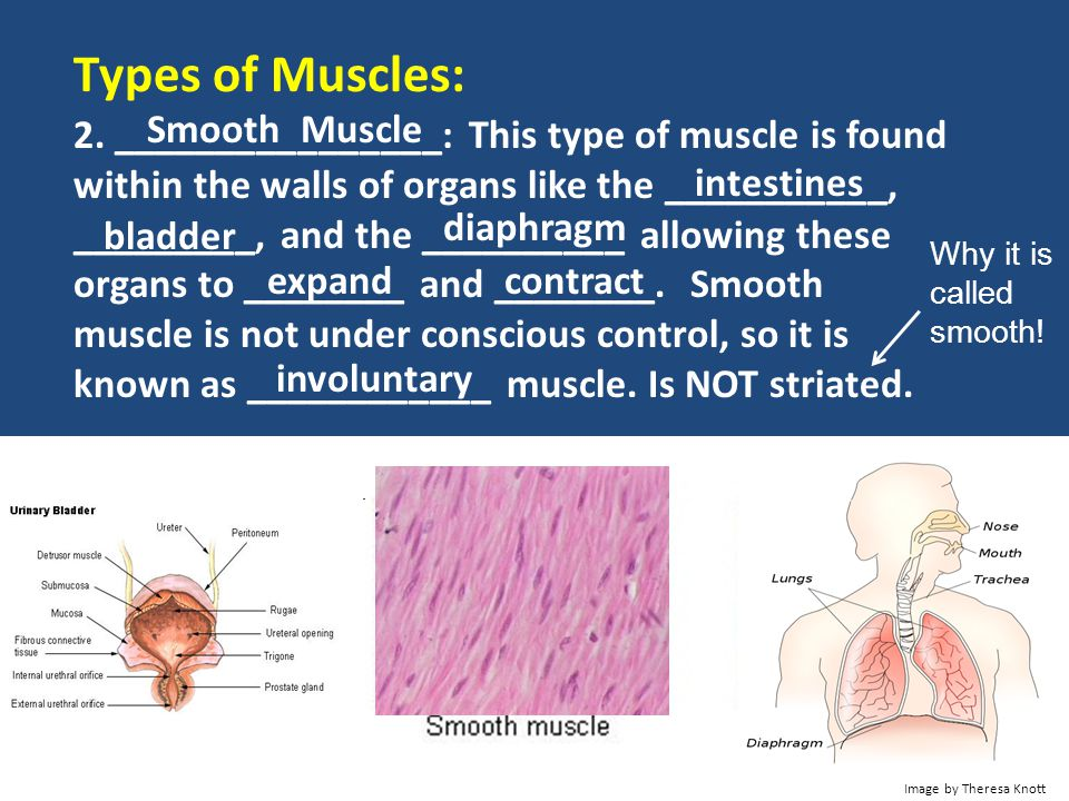 Types of Muscles: Smooth Muscle