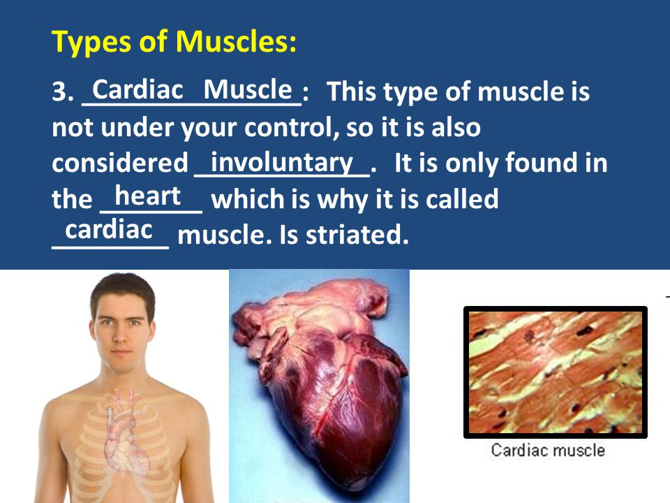 Types of Muscles: Cardiac Muscle
