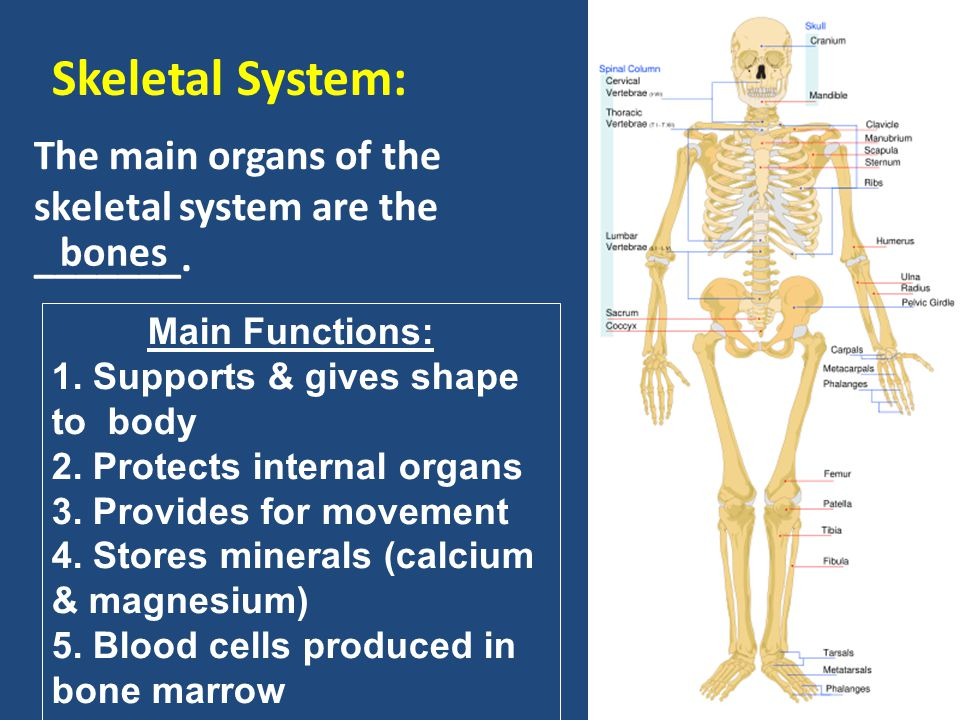 Skeletal System: The main organs of the skeletal system are the _______. bones. Main Functions: Supports & gives shape to body.