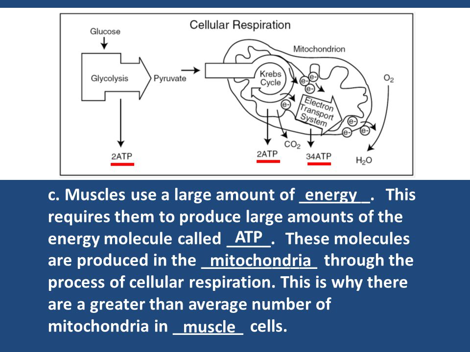 c. Muscles use a large amount of ________