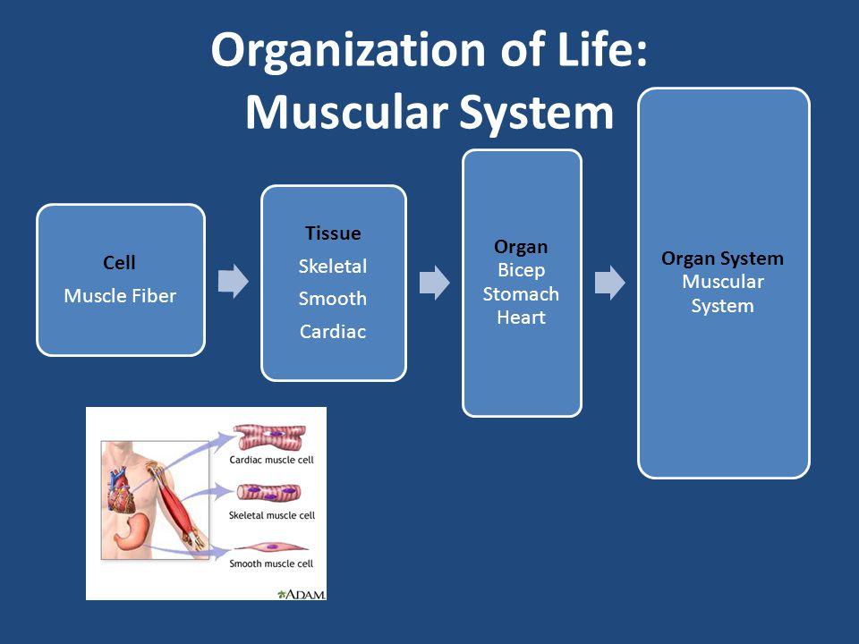 Organization of Life: Muscular System