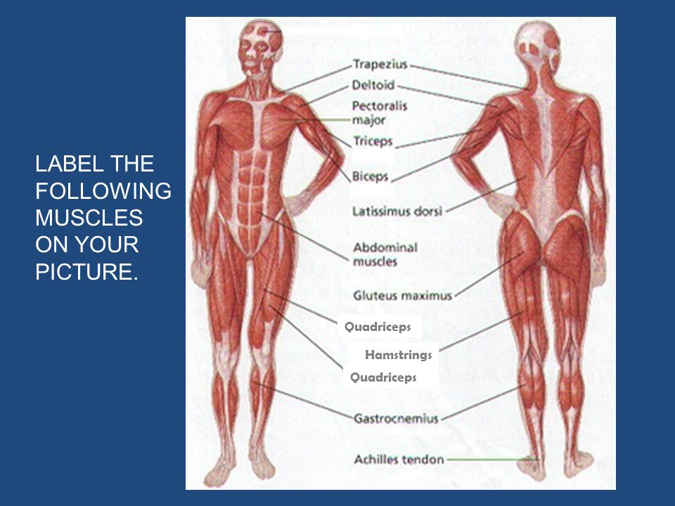 LABEL THE FOLLOWING MUSCLES ON YOUR PICTURE.