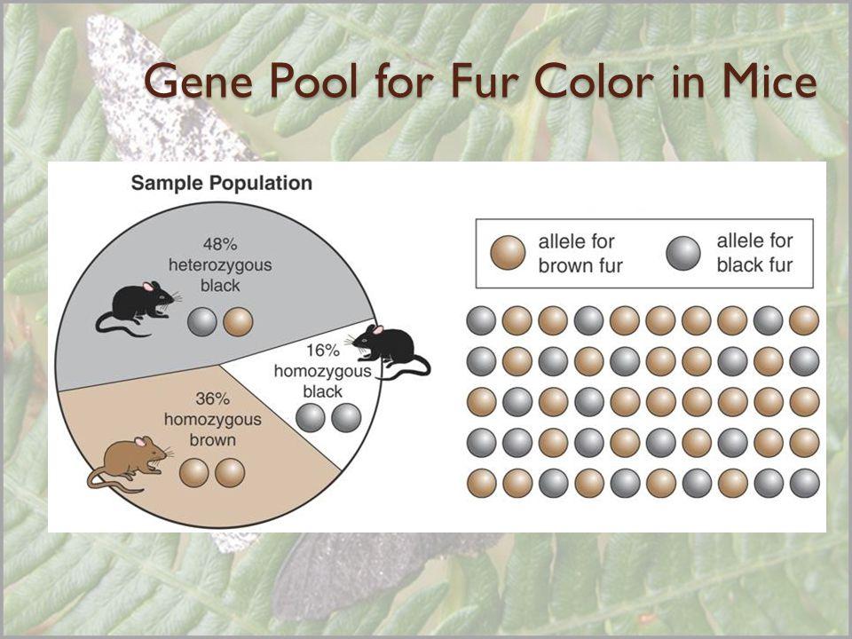 Gene Pool for Fur Color in Mice