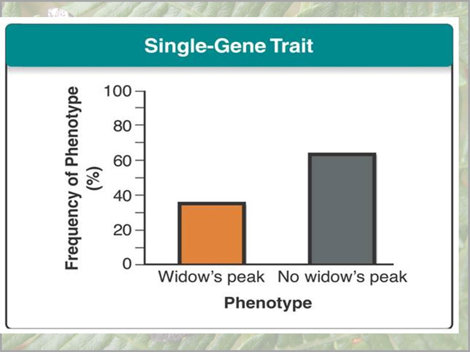 In humans, a single gene with two alleles controls whether a person has a widow's peak (left) or does not have a widow's peak (right).