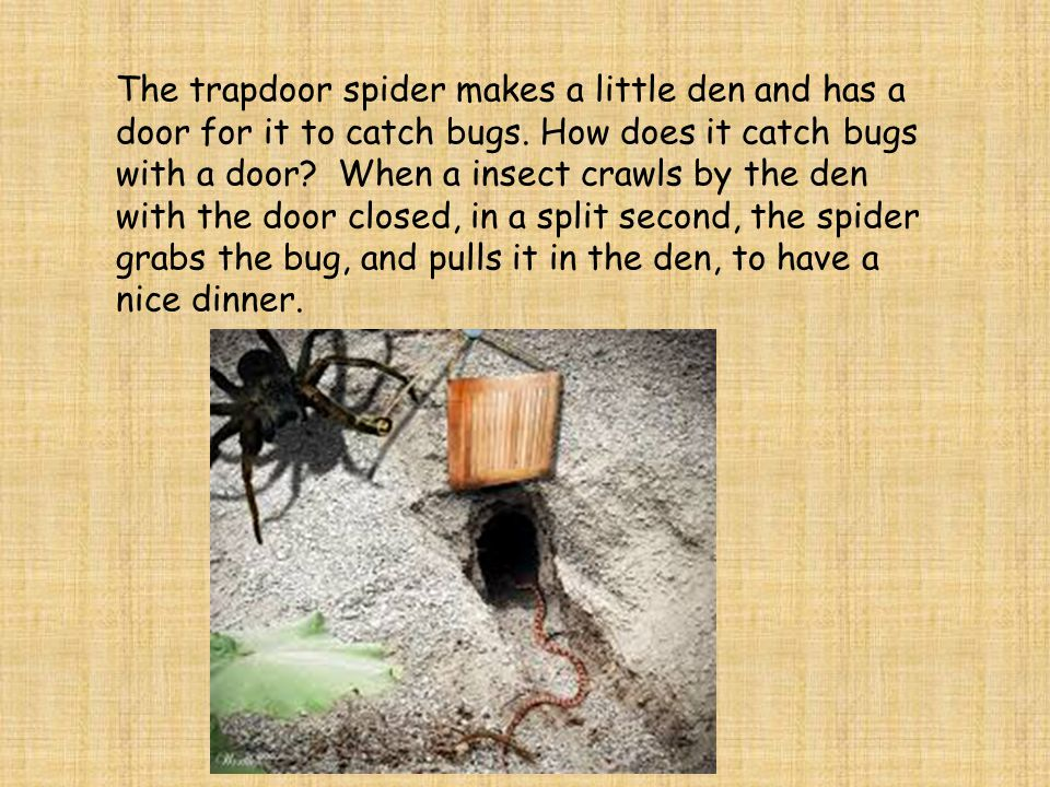 The trapdoor spider makes a little den and has a door for it to catch bugs.