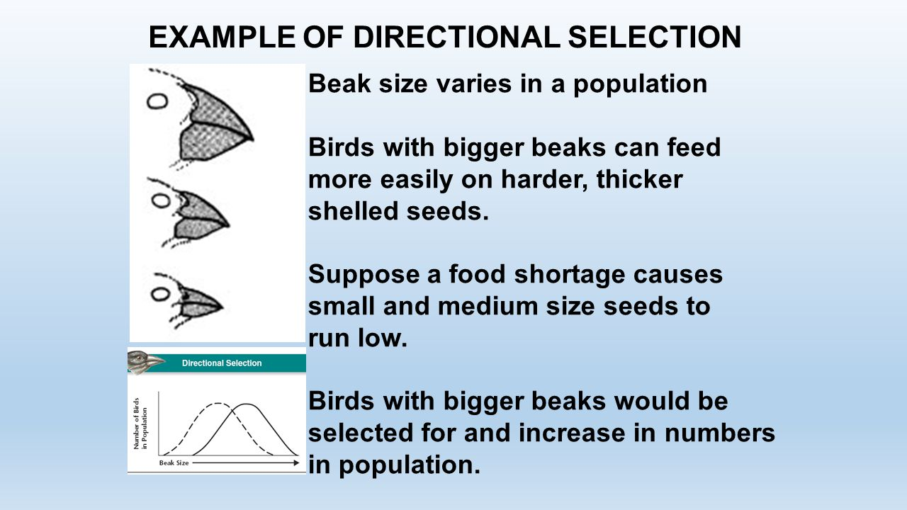 EXAMPLE OF DIRECTIONAL SELECTION