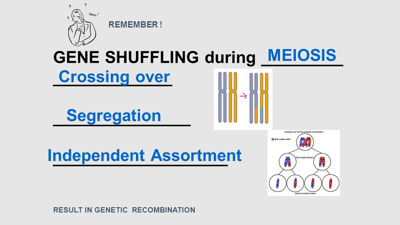 GENE SHUFFLING during _________ _____________ _______________