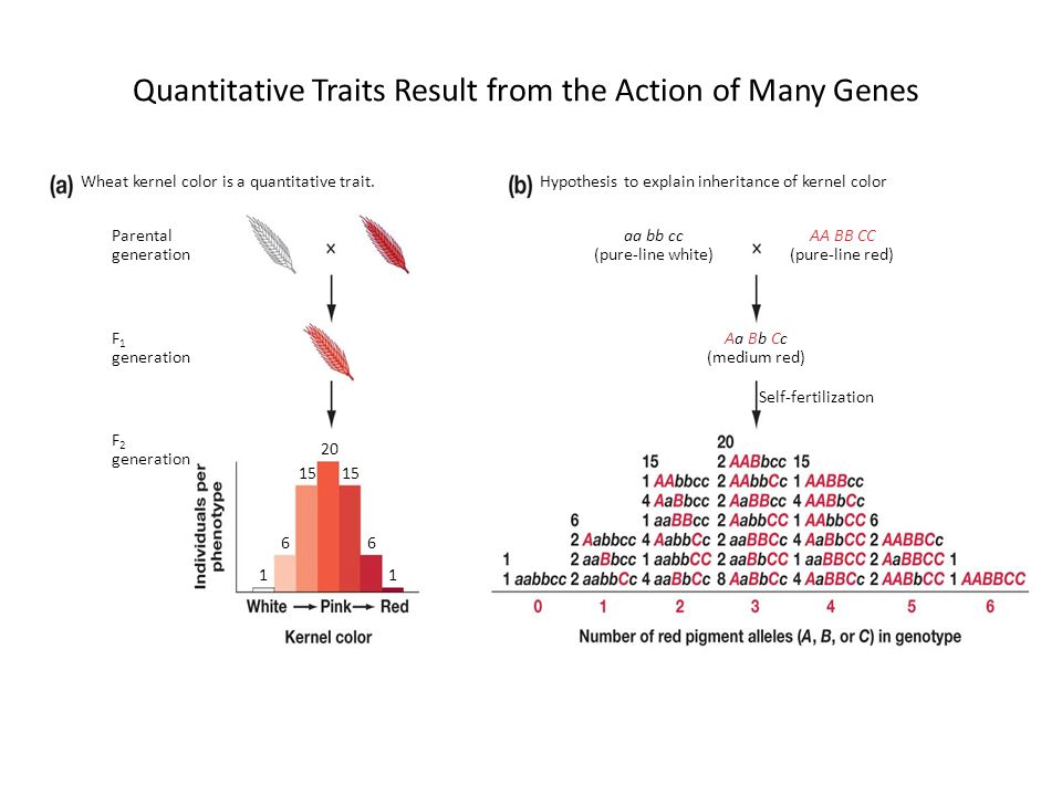 Quantitative Traits Result from the Action of Many Genes