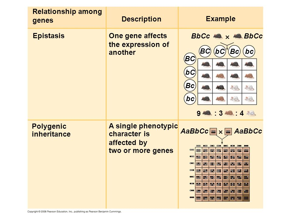 Relationship among genes. Description. Example. Epistasis. One gene affects. the expression of.