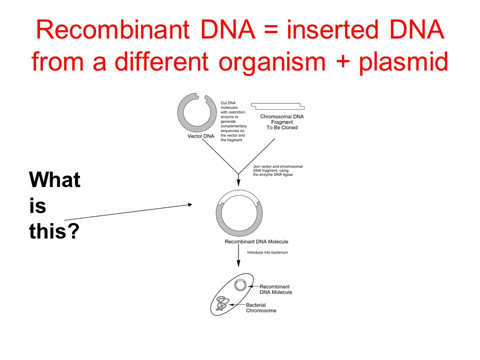 Recombinant DNA = inserted DNA from a different organism + plasmid