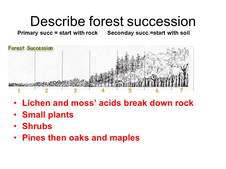 Describe forest succession