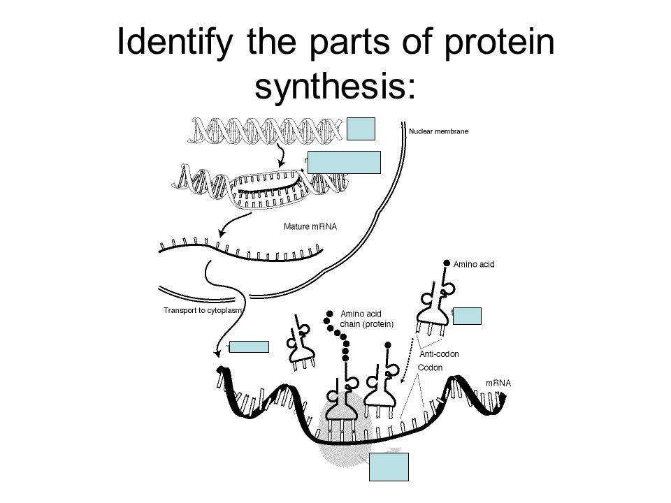 Identify the parts of protein synthesis: