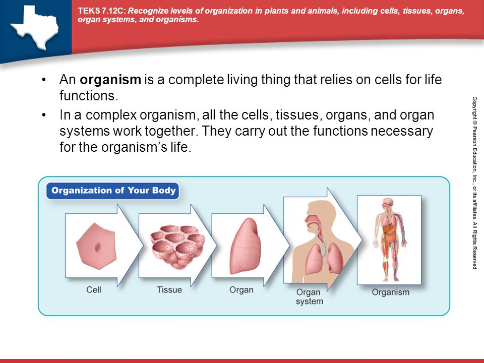 An organism is a complete living thing that relies on cells for life functions.