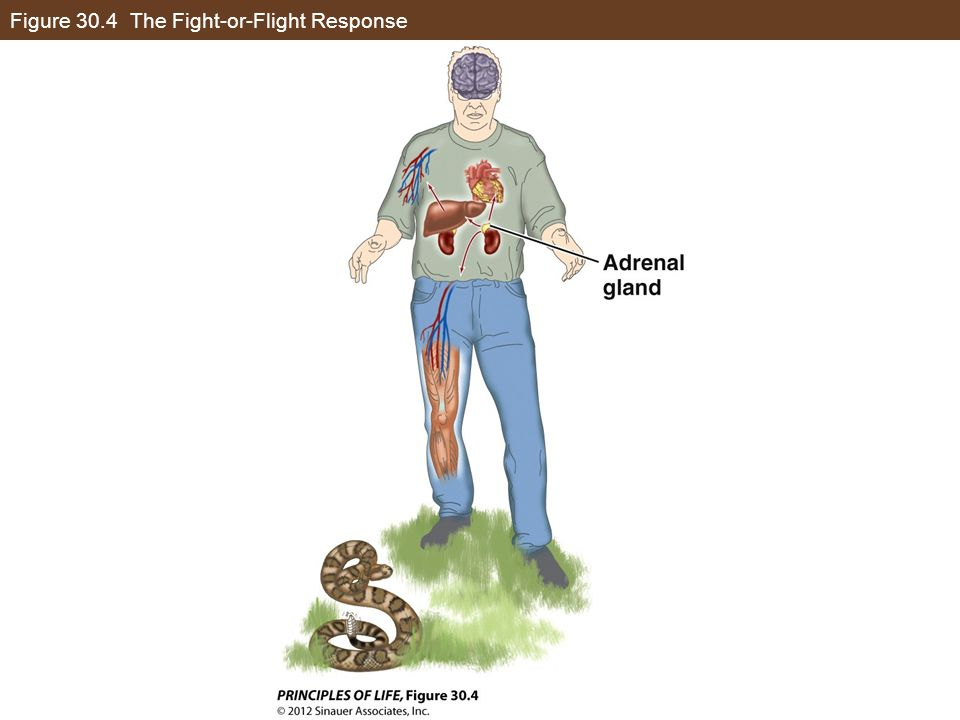 Figure 30.4 The Fight-or-Flight Response
