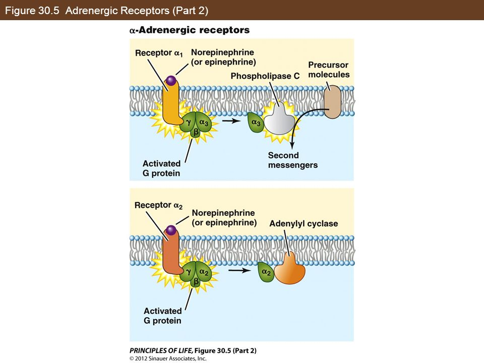 Figure 30.5 Adrenergic Receptors (Part 2)