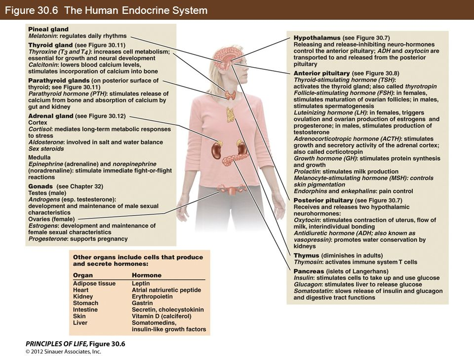Figure 30.6 The Human Endocrine System