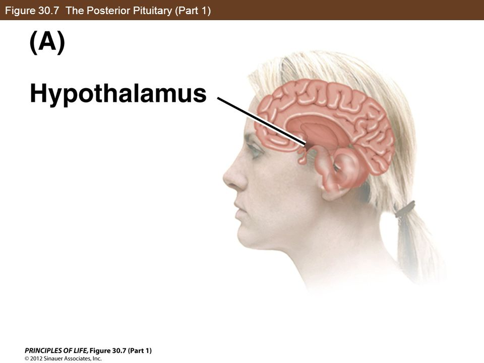 Figure 30.7 The Posterior Pituitary (Part 1)