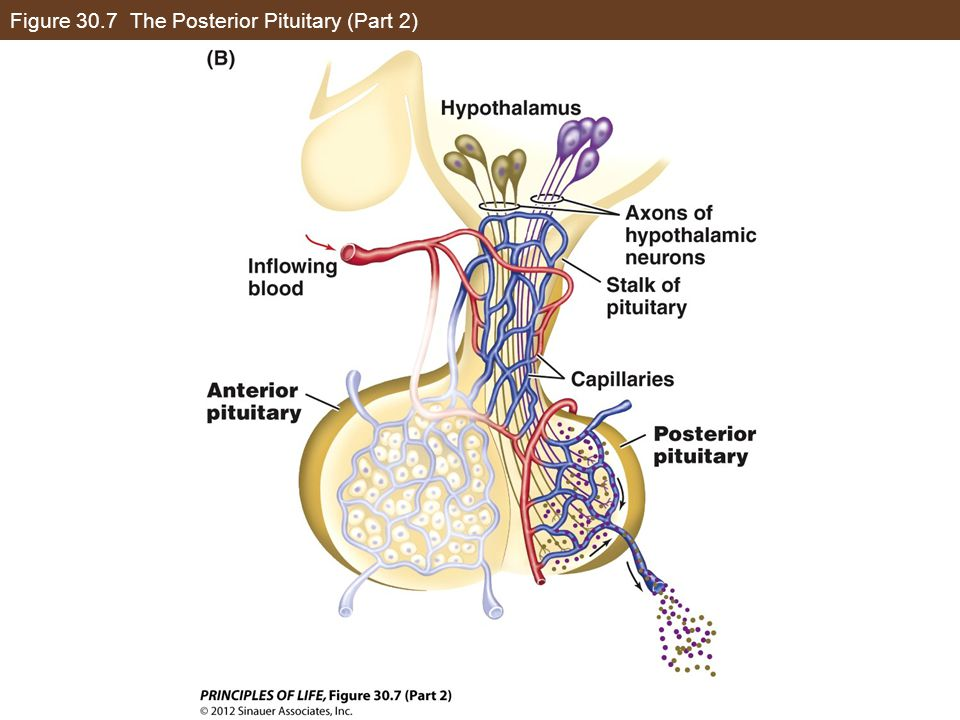 Figure 30.7 The Posterior Pituitary (Part 2)