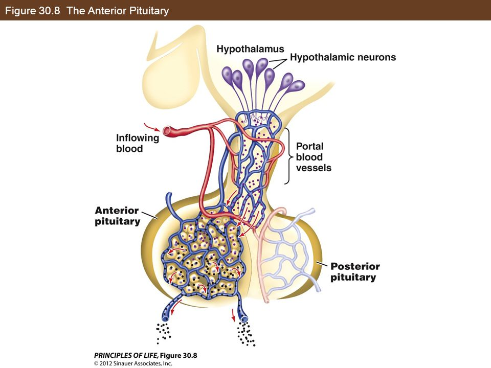 Figure 30.8 The Anterior Pituitary