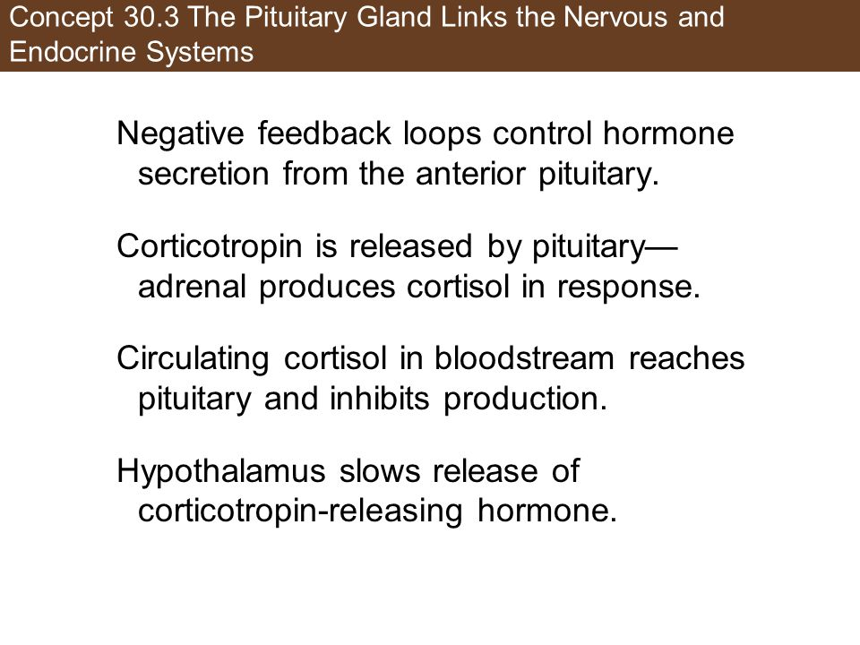 Hypothalamus slows release of corticotropin-releasing hormone.