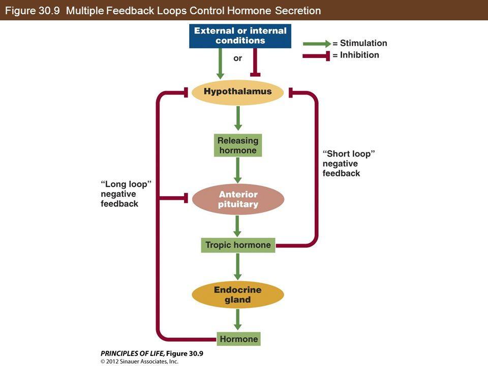 Figure 30.9 Multiple Feedback Loops Control Hormone Secretion