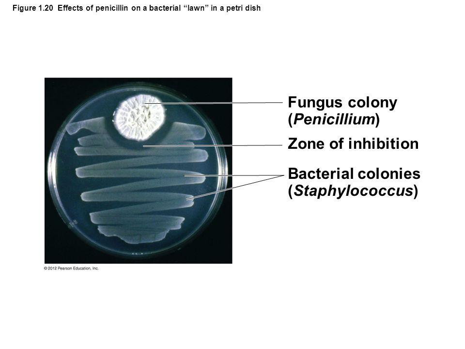 Fungus colony (Penicillium)