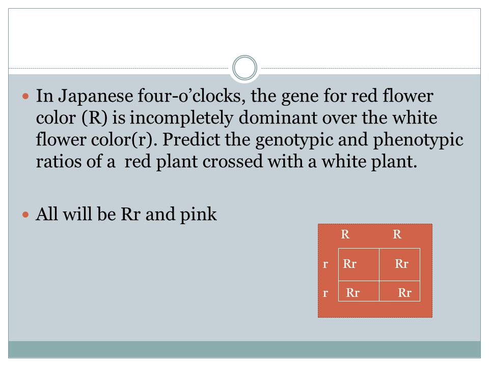 In Japanese four-o'clocks, the gene for red flower color (R) is incompletely dominant over the white flower color(r). Predict the genotypic and phenotypic ratios of a red plant crossed with a white plant.