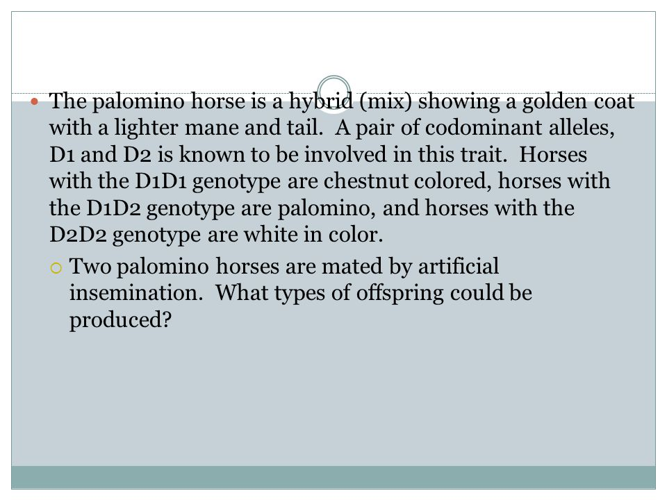 The palomino horse is a hybrid (mix) showing a golden coat with a lighter mane and tail. A pair of codominant alleles, D1 and D2 is known to be involved in this trait. Horses with the D1D1 genotype are chestnut colored, horses with the D1D2 genotype are palomino, and horses with the D2D2 genotype are white in color.