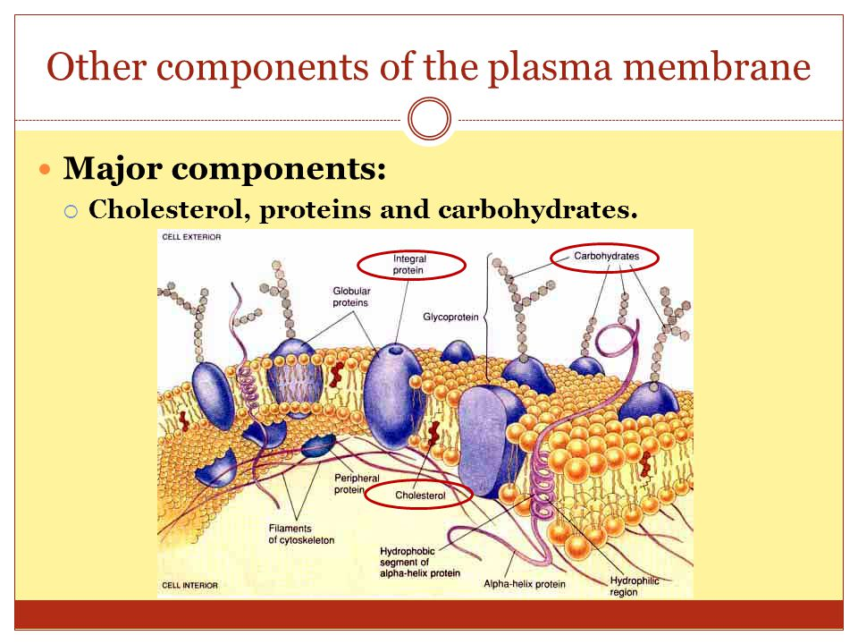 Other components of the plasma membrane