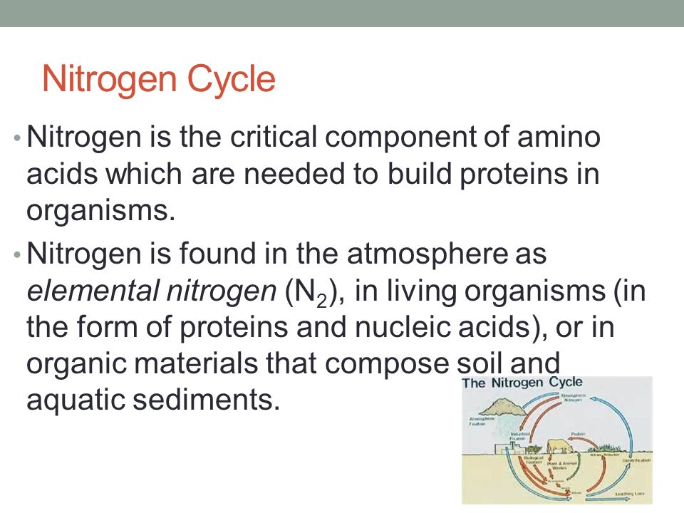 Nitrogen Cycle Nitrogen is the critical component of amino acids which are needed to build proteins in organisms.