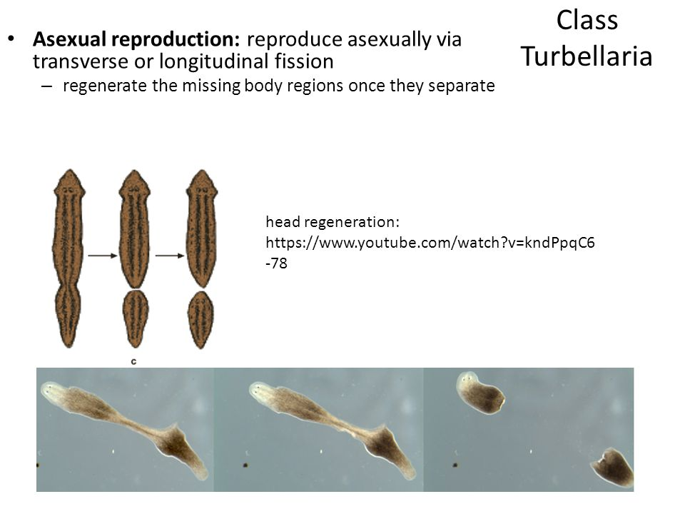 Class Turbellaria Asexual reproduction: reproduce asexually via transverse or longitudinal fission.