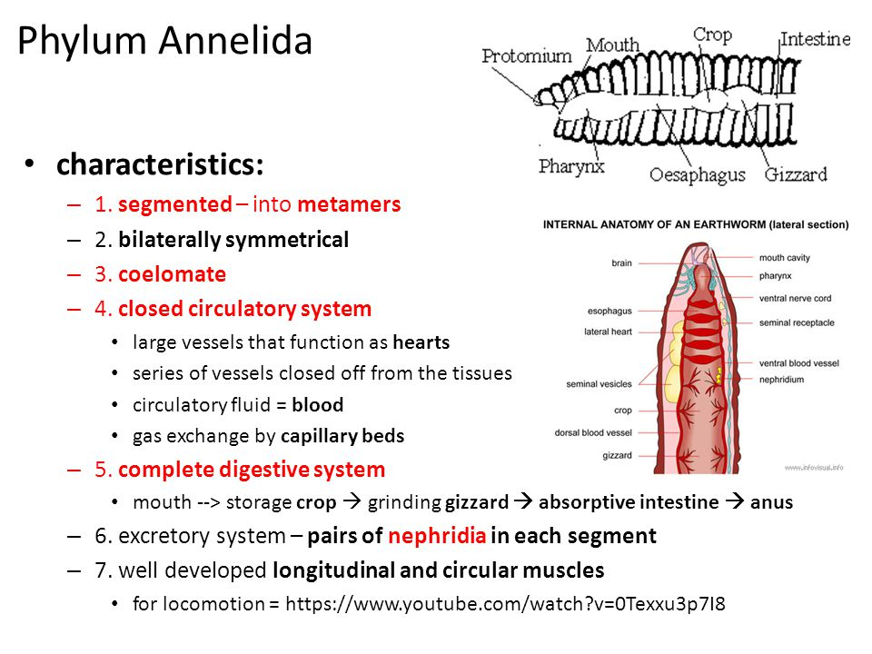 Phylum Annelida characteristics: 1. segmented – into metamers