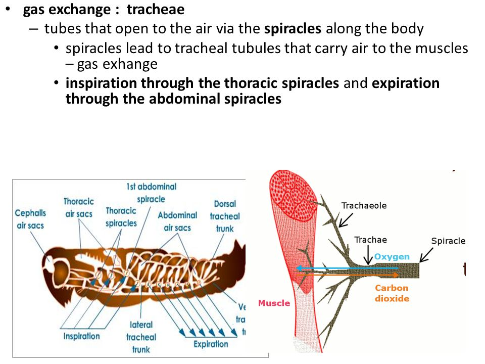 gas exchange : tracheae