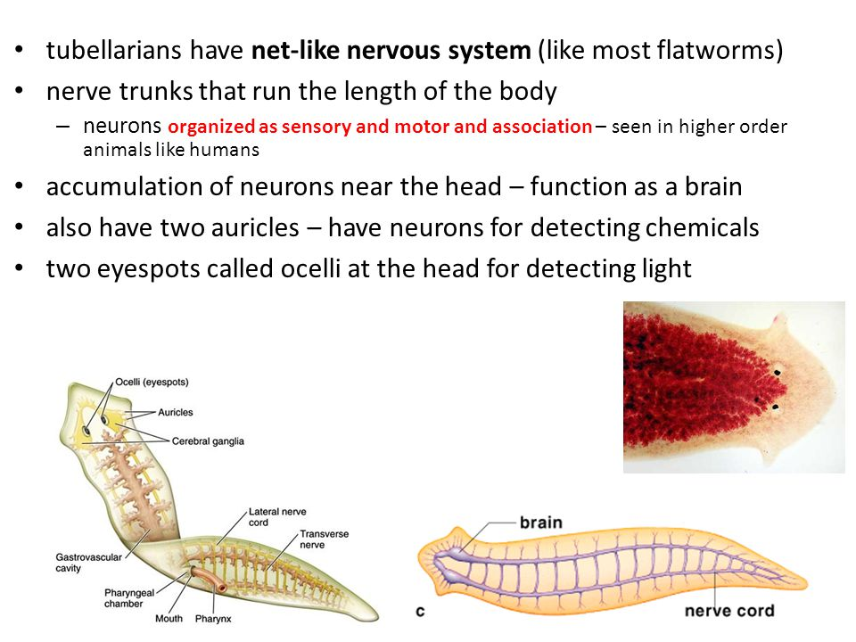 tubellarians have net-like nervous system (like most flatworms)