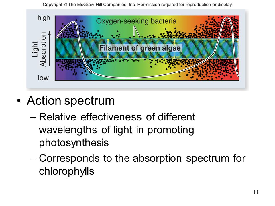 Action spectrum Relative effectiveness of different wavelengths of light in promoting photosynthesis.