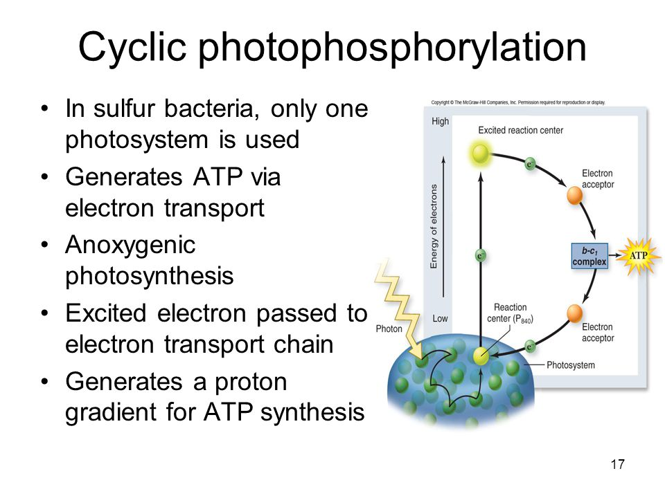 cyclic electron transport photsynthesis Photosynthesis research 36: 149-168, 1993 (~) 1993 kluwer academic publishers printed in the netherlands minireview electron transport and photophosphorylation by photosystem i in vivo in.
