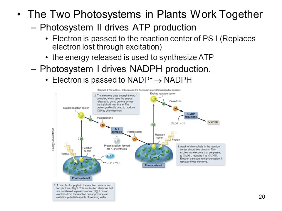 The Two Photosystems in Plants Work Together