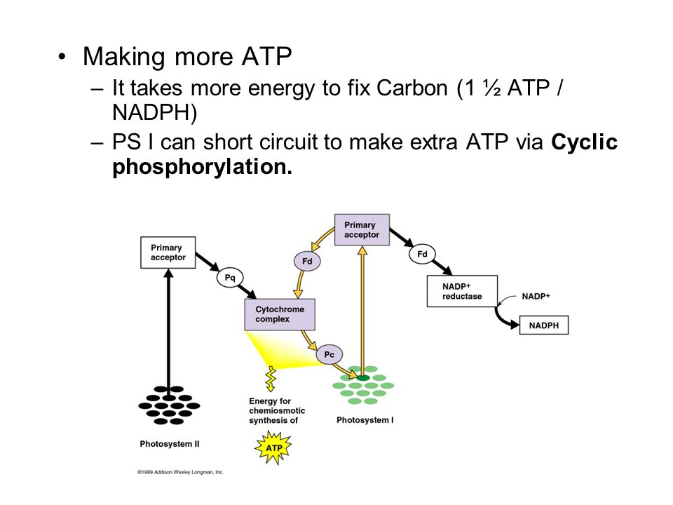 Making more ATP It takes more energy to fix Carbon (1 ½ ATP / NADPH)