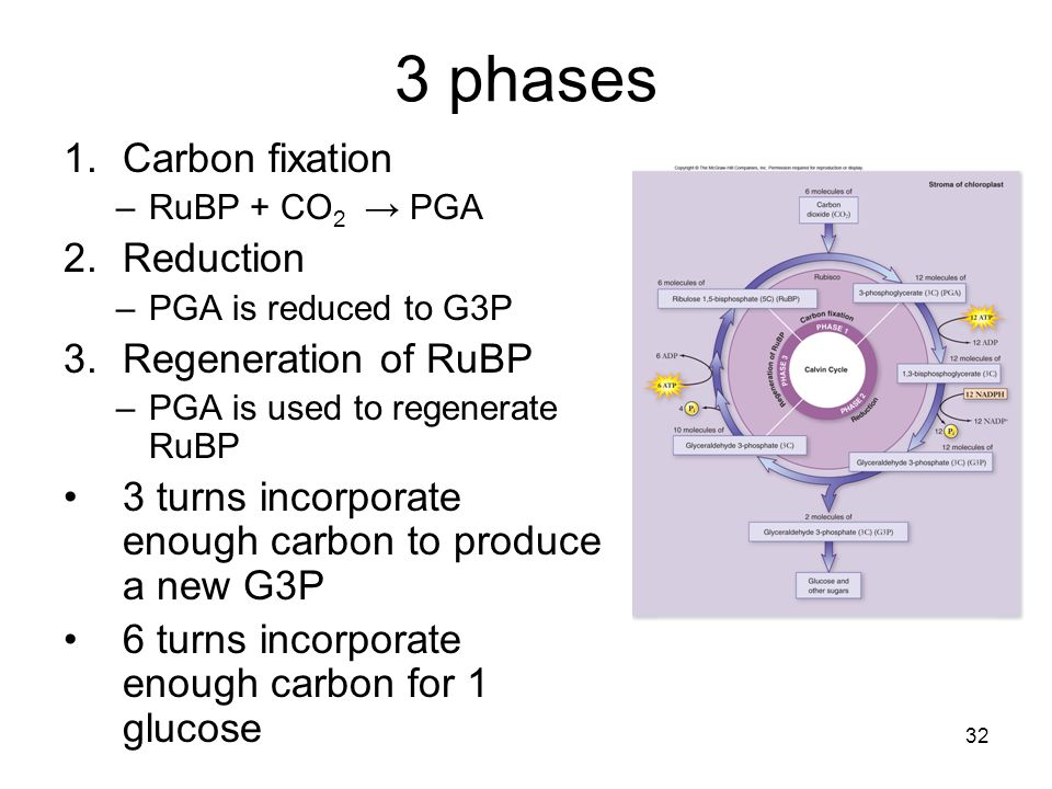 3 phases Carbon fixation Reduction Regeneration of RuBP