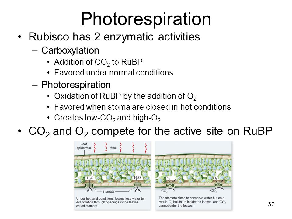 Photorespiration Rubisco has 2 enzymatic activities