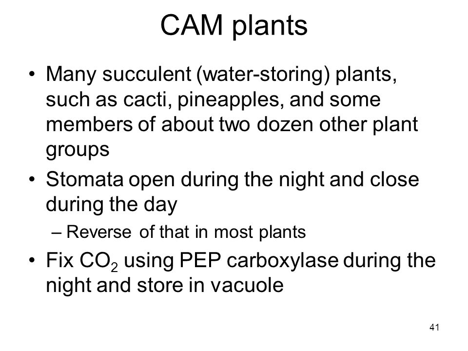 CAM plants Many succulent (water-storing) plants, such as cacti, pineapples, and some members of about two dozen other plant groups.