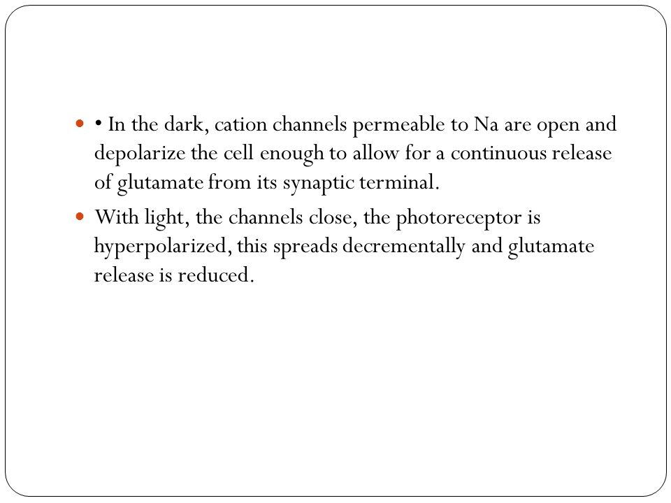 • In the dark, cation channels permeable to Na are open and depolarize the cell enough to allow for a continuous release of glutamate from its synaptic terminal.