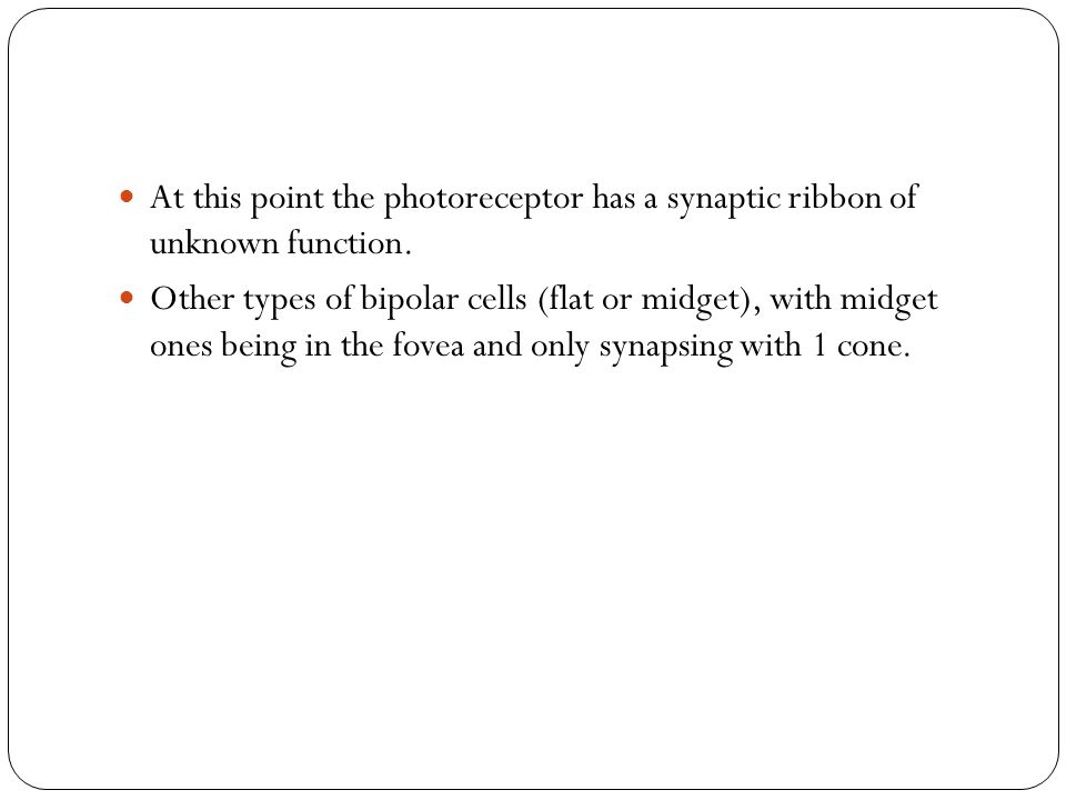 At this point the photoreceptor has a synaptic ribbon of unknown function.