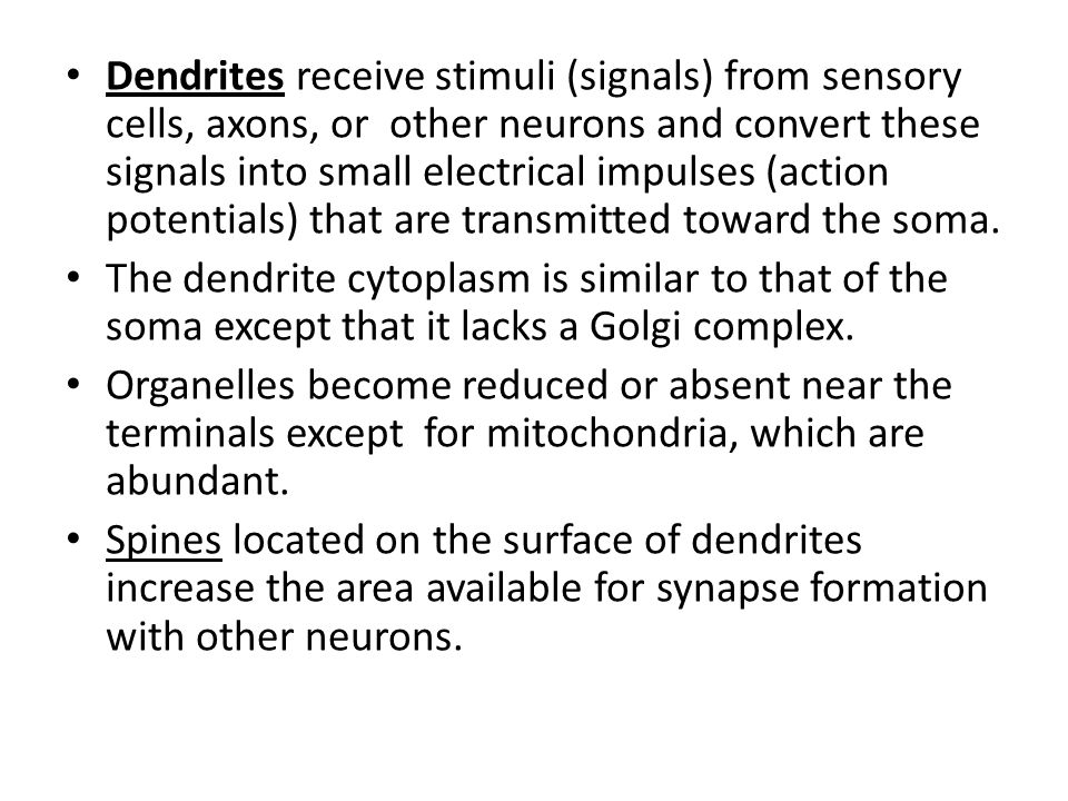 Dendrites receive stimuli (signals) from sensory cells, axons, or other neurons and convert these signals into small electrical impulses (action potentials) that are transmitted toward the soma.
