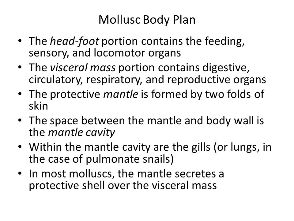 Mollusc Body Plan The head-foot portion contains the feeding, sensory, and locomotor organs.