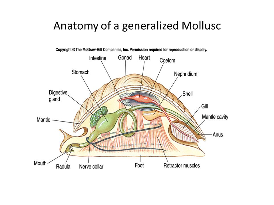 Anatomy of a generalized Mollusc