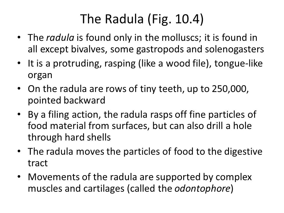 The Radula (Fig. 10.4) The radula is found only in the molluscs; it is found in all except bivalves, some gastropods and solenogasters.