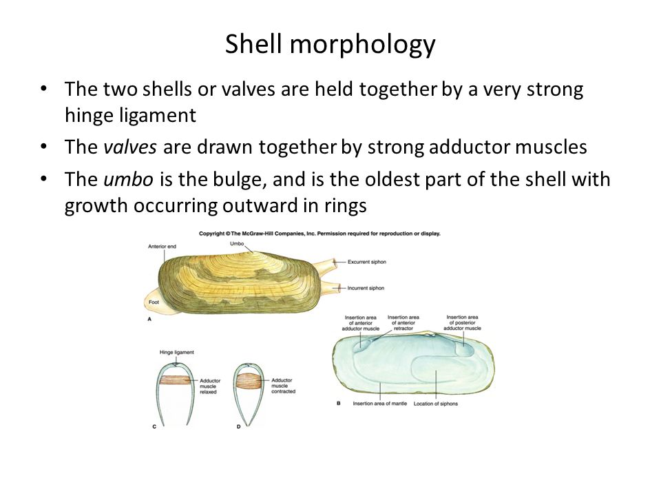 Shell morphology The two shells or valves are held together by a very strong hinge ligament.